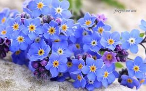 勿忘我花卉花语