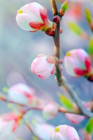 春天含苞待放的花蕾