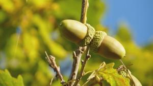 树上青涩的橡子果图片