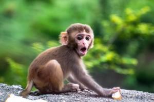 超级呆萌的猴子写真