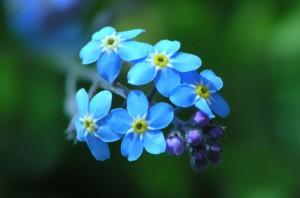 蓝色小花勿忘我唯美意境
