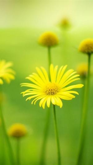 黄色小雏菊手机壁纸