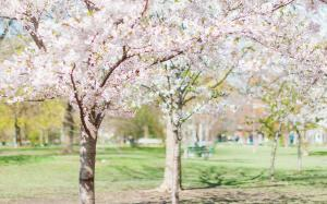 日本街道唯美粉色樱花花卉高清桌面壁纸