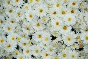 白菊花淡雅高清手机壁纸
