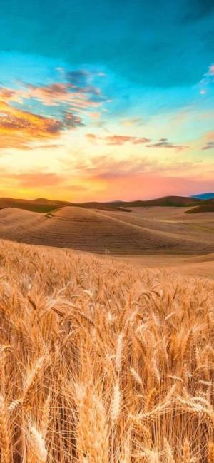 秋日黄昏的稻田