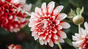 盛开的大丽花