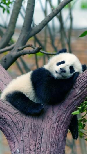 可爱呆萌大熊猫图片手机壁纸