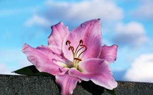 小清新淡雅百合花的花语