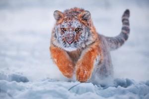 雪地里奔跑的老虎