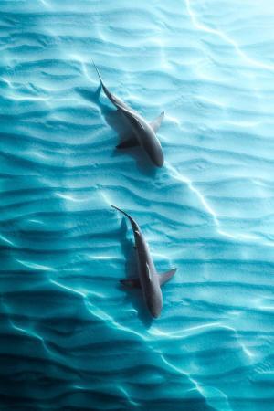 澳大利亚礁鲨
