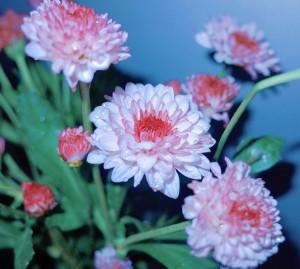 欣然绽放的菊花