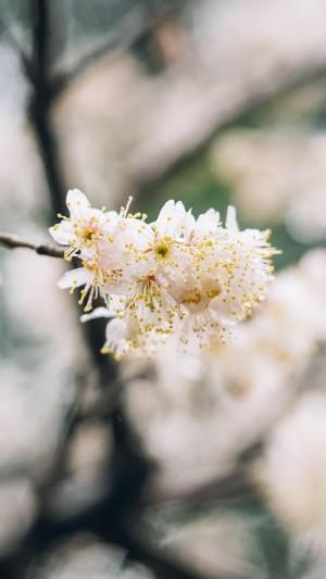 清新淡雅白色花卉图片手机壁纸