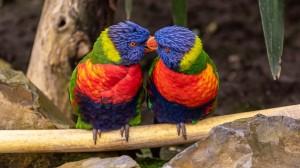 灵动彩虹鹦鹉