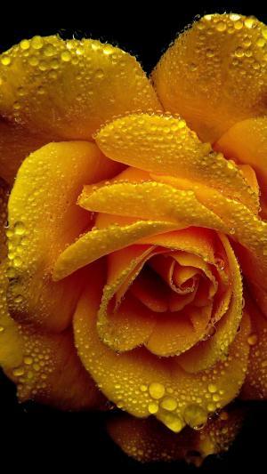 情人节的黄色玫瑰花