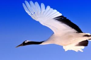 扎龙自然保护区里飞行中的丹顶鹤