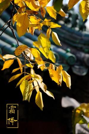 霜降满树黄叶