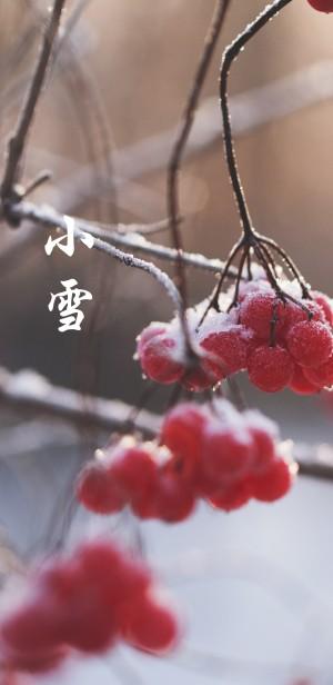 小雪时节的红通通的浆果