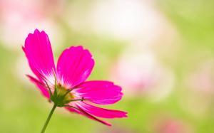 一朵花绚丽绽放高清桌面壁纸