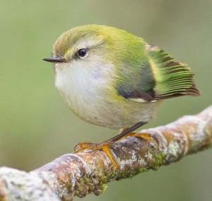 新西兰的濒危物种步枪鸟