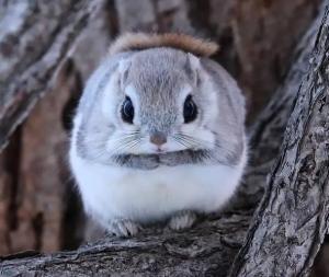 日本矮飞鼠