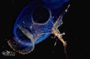水下微距攝影:透明的蝦