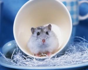 软萌温顺的小仓鼠高请图片壁纸