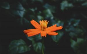 一朵花鲜艳显眼唯美绽放高清电脑壁纸