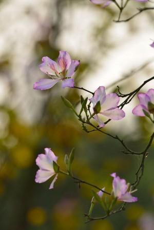羊蹄甲植物图片