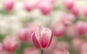 超美粉色郁金香图片桌面壁纸
