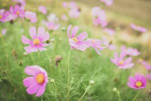 风中摇曳的美丽波斯菊花图片