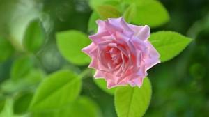 清新绚烂粉色花卉桌面壁纸