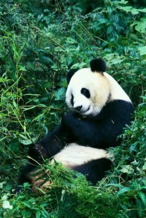 憨态可掬的国宝大熊猫