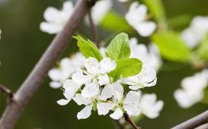 洁白淡雅的梨花图片桌面壁纸