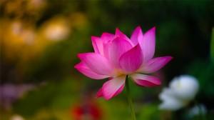 漂亮的睡莲唯美图片