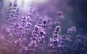 浪漫紫色薰衣草养眼安神高清桌面壁纸
