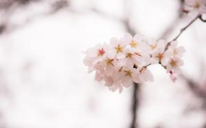 正是樱花绽放的季节