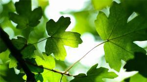 初夏碧绿的绿色植物叶子,高清养眼绿叶图片