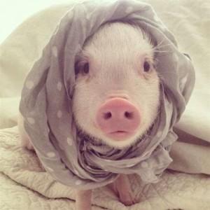 萌系宠物猪桌面壁纸