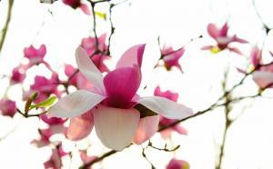 春天的玉兰花风景图片