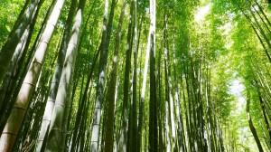 四季常青的翠竹图片