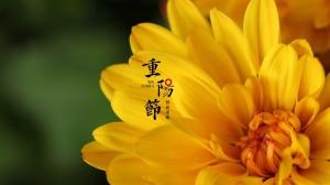 重阳佳节赏菊的鲜艳背景图
