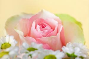粉红色玫瑰花的特写图片