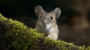 软萌可爱的小鼠图片桌面壁纸