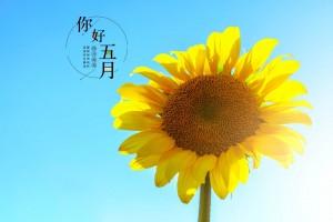 五月你好小清新向日葵壁纸图片