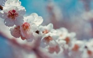 纯洁清新的白色樱花风景桌面壁纸