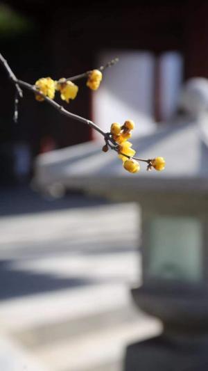 二十四节气之立春实拍花朵手机壁纸