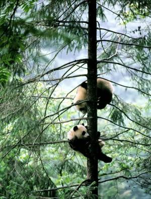 卧龙自然保护区里的熊猫