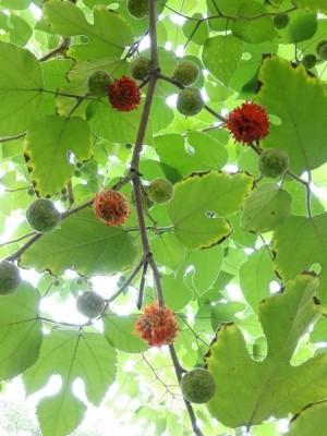 植物楮树图片