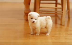 纯白的可爱小狗图片超萌壁纸