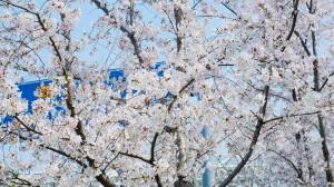 春天纯洁的樱花